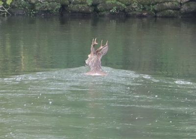 Stag Deer crossing the river to Tescos